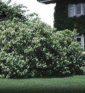 Silky Dogwood—Cornus amomum Great shrub for moist soil and partial sun