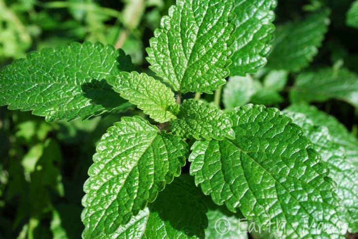 Lemon Balm is licensed in Germany as a sleep aid and is often recommended for tenseness, restlessness and irritability. That's good news for anyone who enjoys Lemon Balm's light and fragrant demeanor, whether used externally in soaps or lotions or infused in ice cream or steeped into a tea! {Click to learn more at Mama's Herb Gallery}