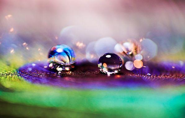 Обои картинки фото макро, перо, павлин, капли, капля, роса
