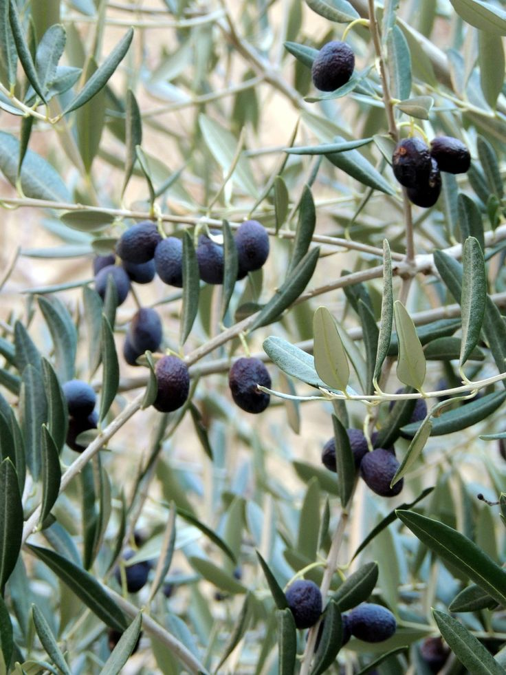 Olivera en la Provence
