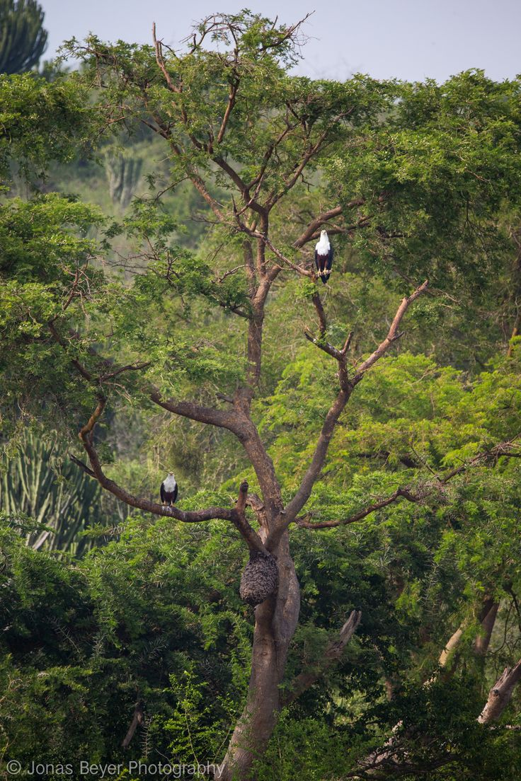 The African Fish Eagle | Jonas Beyer Photography