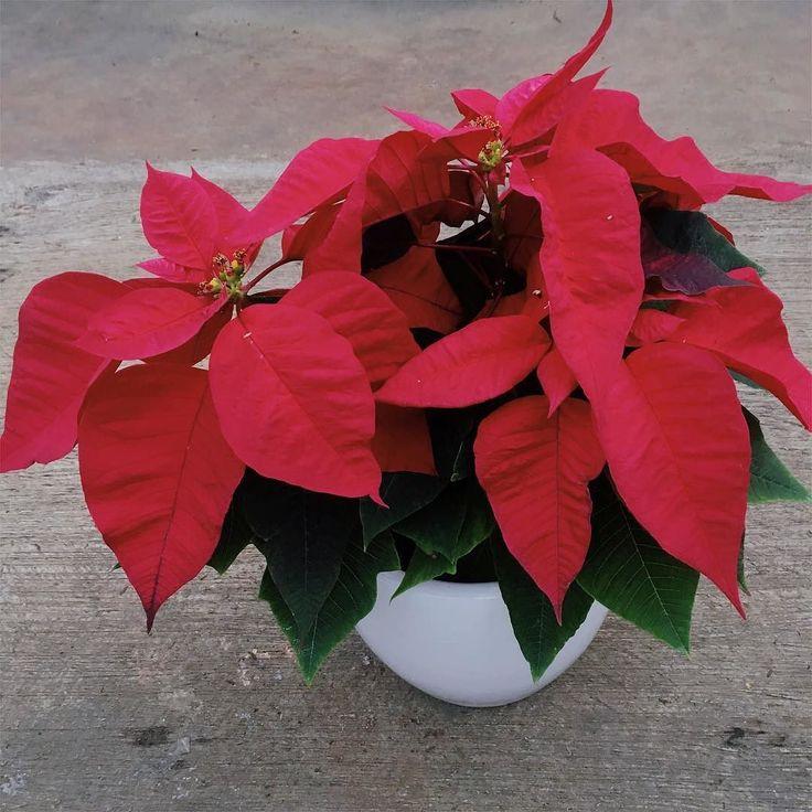 Menyambut hari natal dan liburan - kita promo Kastuba versi rimbun dan lebat dan merah sudah sama pot putih keramik 20cm yaa  IDR 100 ribu. . . Bisa untuk hadiah atau hiasan di atas meja