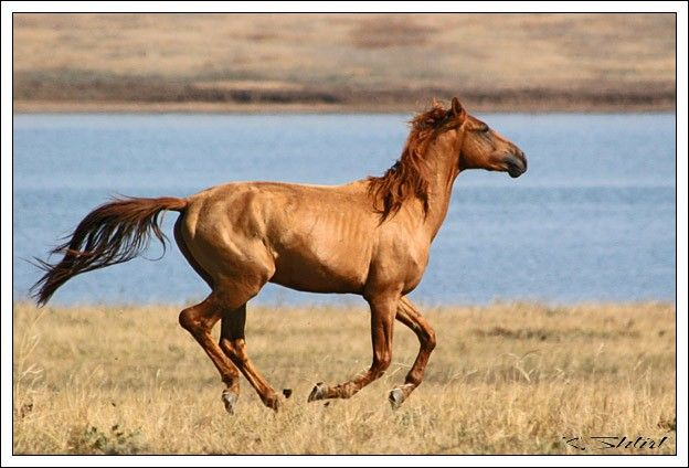 Feral horse, descendant from Budyonny, on a large island in Manych Lake in the Rostov district. Russia.