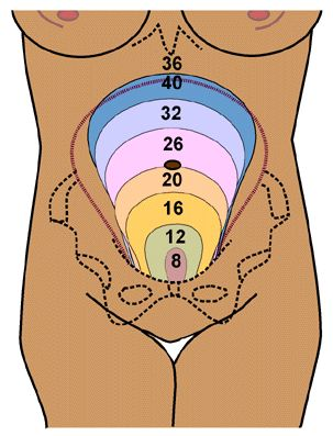 At 6 to 8 weeks, the gravid uterus is approximately the size of an orange. At 12 weeks, the top of the fundus should be at the level of the symphysis pubis; at 20 weeks, at the level of the umbilicus; and at 36 weeks, at the level of the xiphoid process. Subsequently, the fetus descends into the pelvis, and the fundal height may decrease.