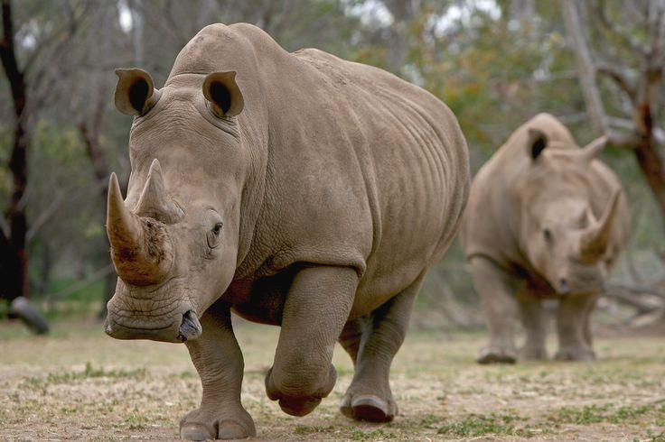 Werribee Open Range Zoo Events. Weddings. Rhino viewing on Safari.