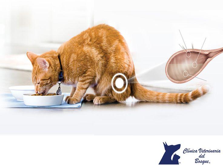 ¿Qué es un cálculo urinario? CLÍNICA VETERINARIA DEL BOSQUE. Los cálculos urinarios en gatos, son agregados de cristales urinarios que están presentes en la vejiga, son muchos los factores que lo producen como virus (se presenta más en machos que en hembras), metabólico, nutricional, es muy difícil determinar la causa, pero es una urgencia veterinaria. En Clínica Veterinaria del Bosque te invitamos a comunicarte al 5360 3311 para atender a tu minino. #veterinaria