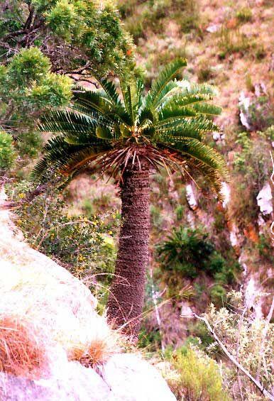 Encephalartos longifolius Thunberg's Cycad Suurberg cycad / Broodboom 3 m SA no 9 Pacsoa