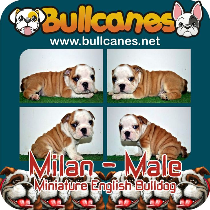 MILAN MINIATURE ENGLISH BULLDOG PUPPIES FOR SALE - MAY 2014 http://www.bullcanes.net/ Bulldog Breeders ceo@bullcanes.net bullcanes1@hotmail.com WhatsApp: +57 3113547995 Instagram: @BULLCANES Bulldog puppies for Sale TollFree: 1-888 7806050 Carolina Osorio