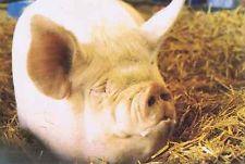 """Middle White pig - """"Those who indulge, bulge""""."""