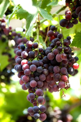 12 best images about red globe grapes on pinterest cold for Table grapes zone 6