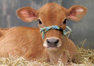 Jersey calf!