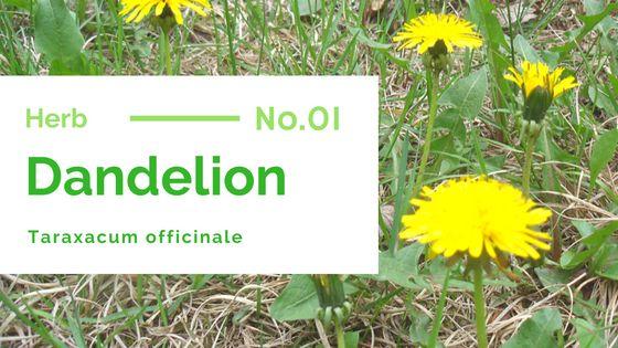 Common dandelion – Taraxacum officinale