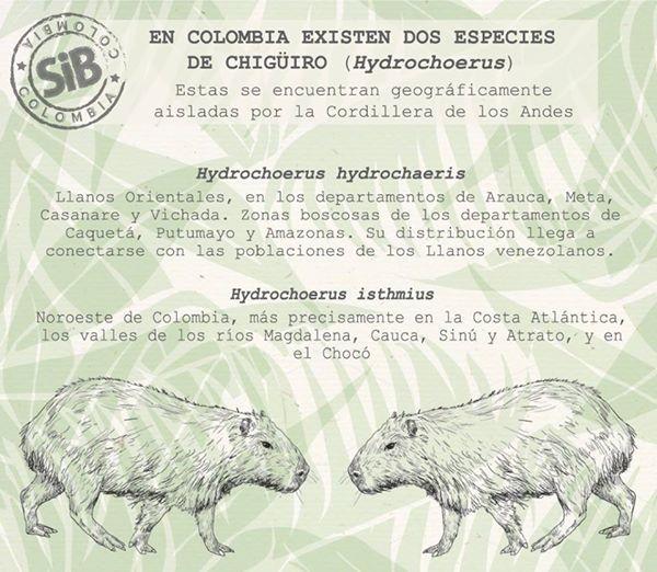 Existen 2 especies de chigüiros en Colombia