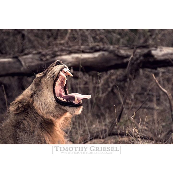 FUTURE KING: This young male lion yawns wide as the sun starts to disappear behind the horizon and a night of possibilities awaits. #nature #naturephoto #watchthisinstagood #artofvisuals #awesome_earthpix #landscape_captures #rsa_rural #natureaddict #nature_wizards #awesomeearth #naturediversity #ourplanetdaily #earth_deluxe #HypeBeast #vscoportrait #ig_mood #discoverportrait #portraitphotography #profile_vision #bleachmyfilm #postmoreportraits #portraitpage #igpodium_portraits #portraiture…
