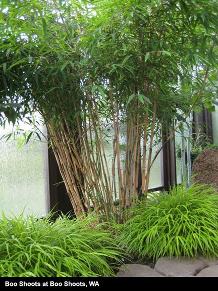 Clumping Bamboo,buy Clumping Bamboo,Clumping Bamboo for sale,Borinda,Borinda for sale,buy Borinda