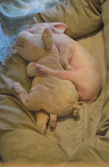 Pig sleeping with stuffed pig
