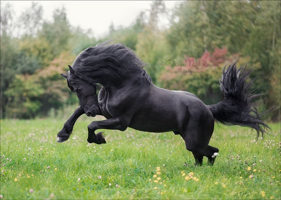 Boomer, Friesian stallion. Photo Olesya Nickolaeva