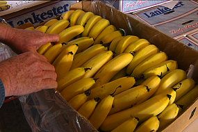 The Mackays, Aussie Farmers Direct's much-loved #banana #farmers, lost their entire plantation when Cyclone #Yasi ripped through far north #Queensland in February 2011.  However, several years on the family behind the biggest banana farm in #Australia believes it's finally cyclone-proofed its farm, and is now looking forward to an increase in banana production.  Click to view the full Landline ABC interview and learn more about the wonderful people our bananas.