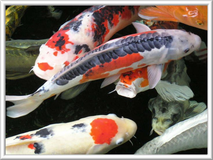 77 best images about koi fish ponds on pinterest for Koi pond color