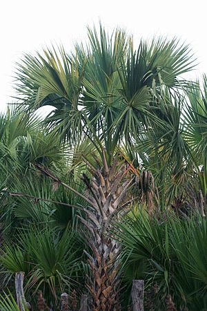 """Palmettoes (sabal mexicana): Sabal mexicana is a species of palm tree that is native to North America. Common names include Rio Grande palmetto, Mexican palmetto, Texas palmetto, Texas sabal palm, palmmetto cabbage and palma de mícharos. The specific epithet, """"mexicana"""", is Latin for """"of Mexico.""""  https://en.wikipedia.org/wiki/Sabal%20mexicana"""