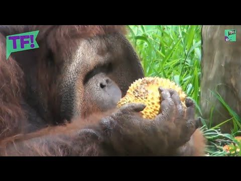 See Jacky the orangutan go ape on BIRTHDAY BENDER