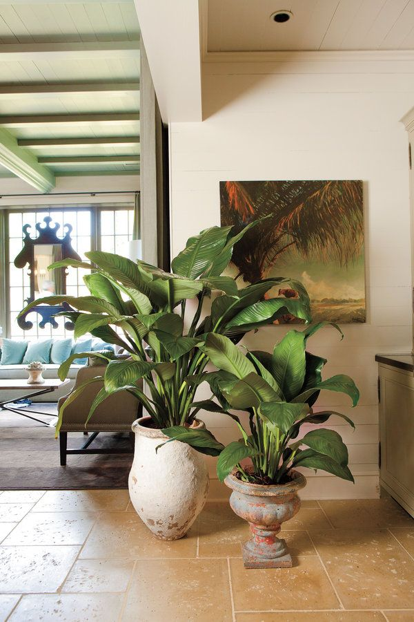 how to grow stargazer lilies indoors