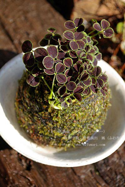 shamrock in a moss ball garden