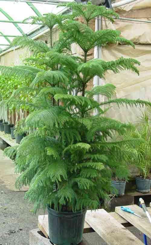 Wonderful Norfolk Island Pine Or Star Pine Ideas