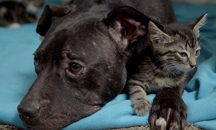 Quand des chatons redonnent la joie de vivre à un ancien chien de combat - Sauvetage - Wamiz