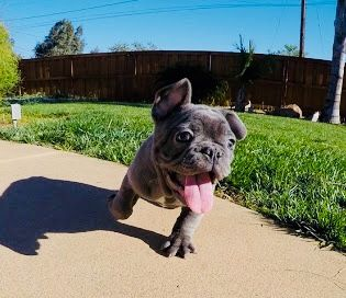French Bulldog Puppy For Sale In Phoenix Az Adn 59389 On