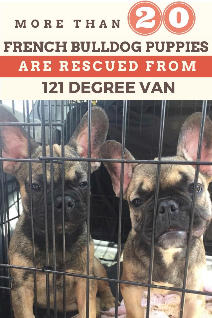 More Than 20 French Bulldog Puppies Rescued From 121 Degree Van