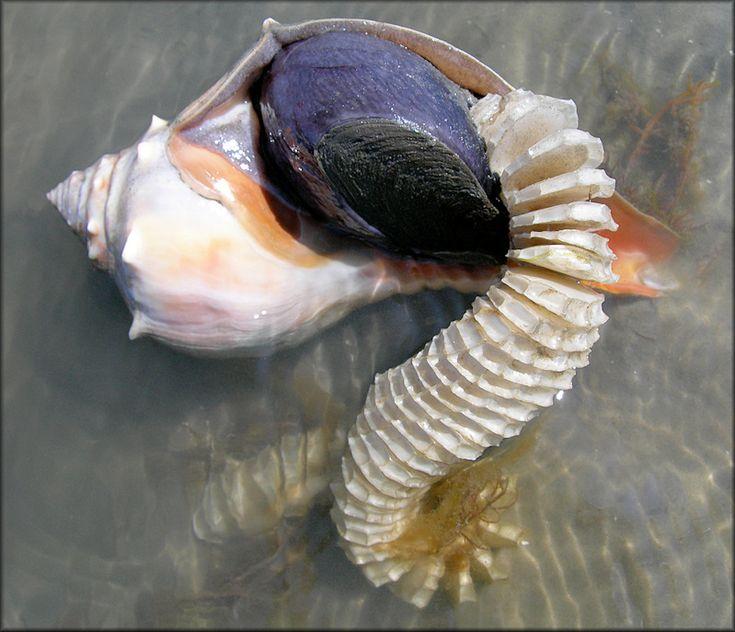Sanibel Beach: Busycon Carica (Gmelin, 1791) Female Depositing Egg