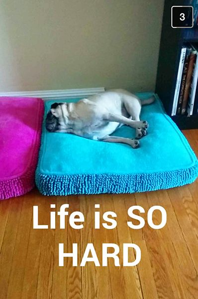 pug life (stinkywrinkles)