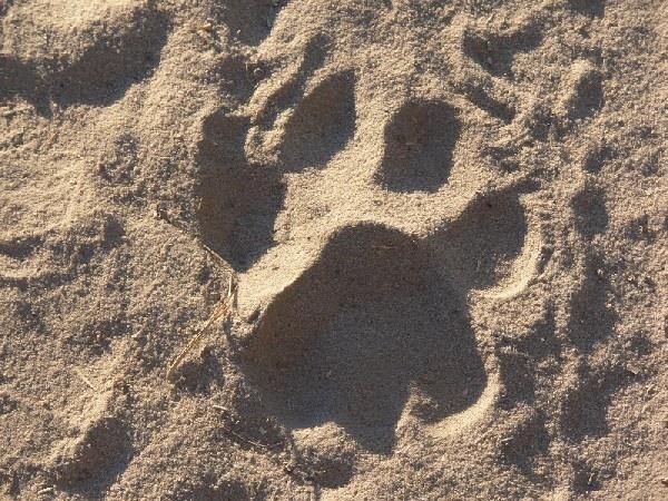 Impronta di un leone sulla sabbia in Botswana