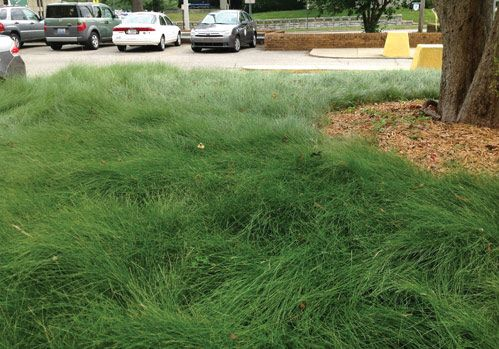 1000 images about no mow lawn on pinterest seasons for Best low maintenance grass
