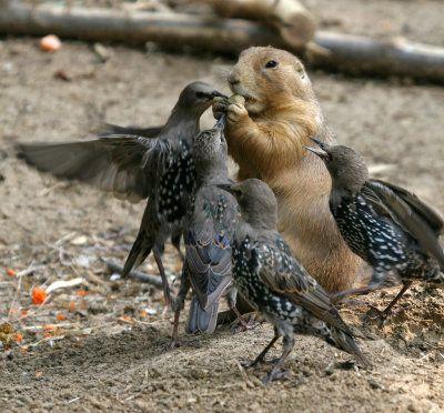 鳥とフードファイトを繰り広げるプレーリードッグの写真 - GIGAZINE