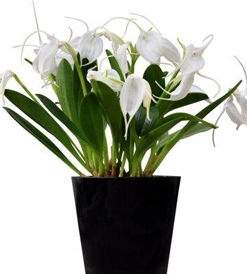Orkidea Bellavallia White