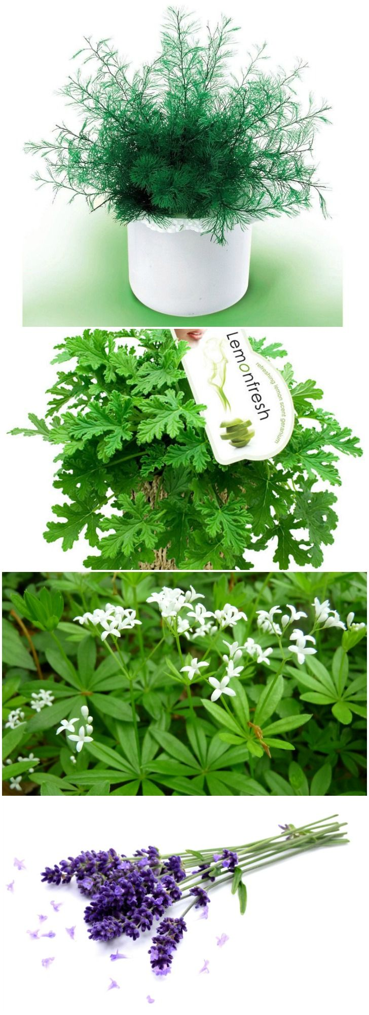 best 25 natural mosquito repellent plants ideas on pinterest