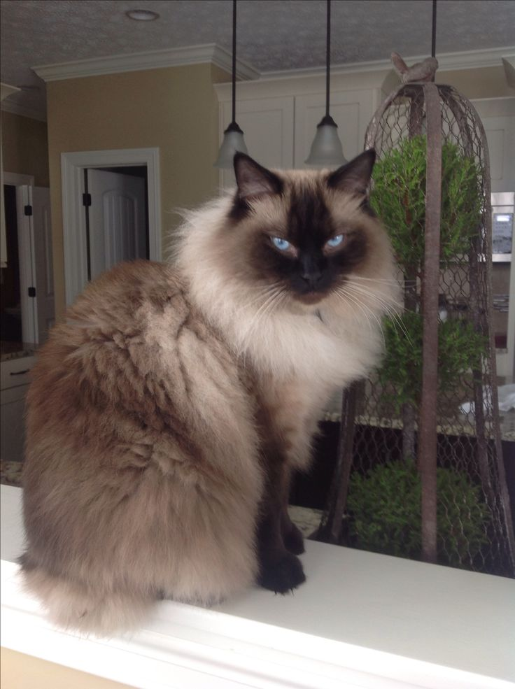 My Seal Point Ragdoll, Ryker Wendell of Kikiragdolls OH