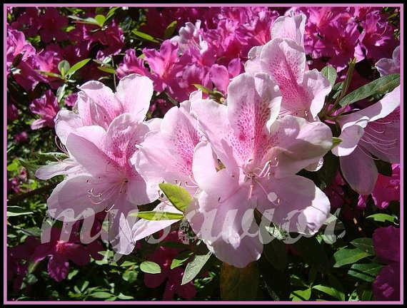 Photograph Card Pink Azalea  Magnolia Plantation by MYSAVIOR, $3.50