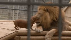 This Lion's Name Is Bonedigger And He Was Born With A Crippling Bone Disease, So The Keepers Introduced Three Dachshunds Abby, Bullet And Milo To Give Him Companionship. They're His Pride Now