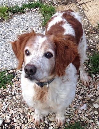 PONGO, cagnolino taglia medio piccola, vivace e giocoso. Adora i bocconcini e le coccole. Ha circa 8 anni. E' un cagnolino molto dolce.