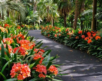 Clivia miniata to line driveway. Light/full shade, spring flowering