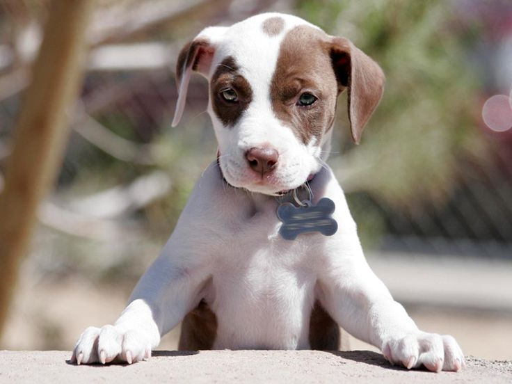 Pitbull Wallpapers Brown And White Pupy