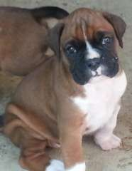 Boxer Puppies For Sale | puppies for sale Mackay Queensland | Boxer dogs for sale in Australia | Boxer puppies for sale in Australia @ #pups4sale - http://www.pups4sale.com.au/dog-breed/403/Boxer.html