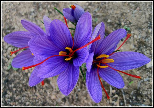 Saffron flower... the orange-red pistil is the most expensive spice in the world....