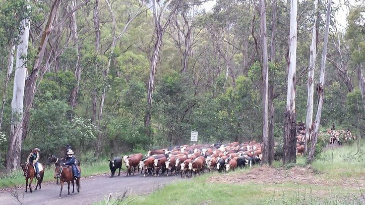 Cattle droving