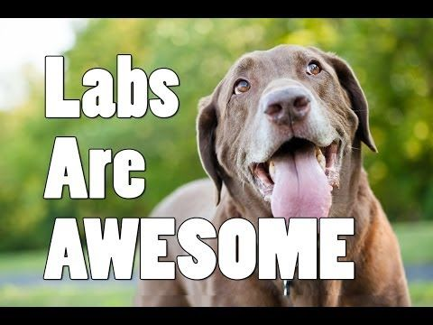 Community: These Adorable Labs Might Win You Over For Best Dog Breed