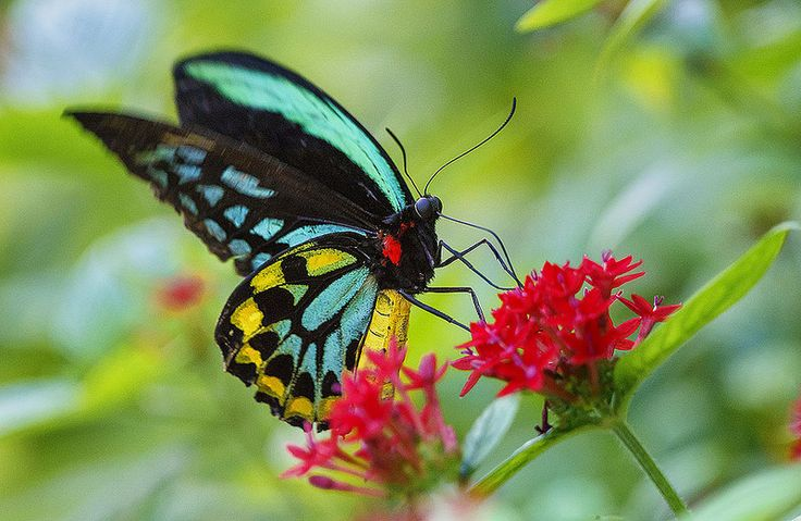 Magnificent Butterfly, so Elegant and Beautiful!! Cairns Birdwing Butterfly in flight feeding on pentas lanceolata flowers.