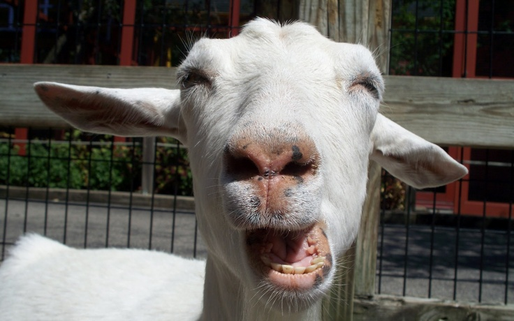 funniest goat pictures | Maprox HD: Funny Goats Pictures / Images / Photos
